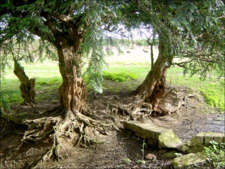 Resten van de taxus haag die in de 17de eeuw de tuin van de abt afbakende